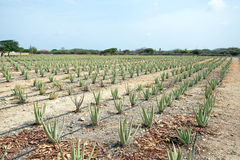 Aloe plants being cultivated in a field on Aruba Island Stock Image