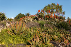 Aloe plants in bloom Royalty Free Stock Photo