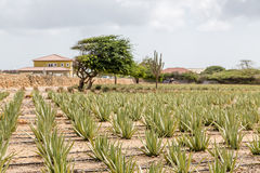 Aloe Plants with Divi Divi and cactus Royalty Free Stock Photo