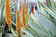 Aloe plants Royalty Free Stock Photos