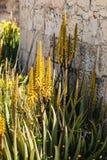 Aloe plants Stock Photography
