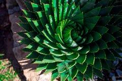 Aloe polyphylla Lizenzfreie Stockfotografie