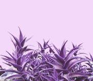Aloe porpora vera Fotografia Stock