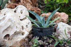 Aloe in POT Fotografia Stock