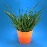 Aloe in POT arancione Fotografia Stock Libera da Diritti
