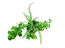 Aloe in Pot Royalty Free Stock Image