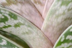 Aloe. Primo piano Fotografie Stock Libere da Diritti