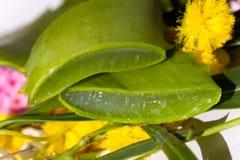 Aloe - profondità del campo poco profonda Fotografie Stock Libere da Diritti
