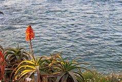 Aloe rosa, costa di La Jolla, simbolo di California Fotografia Stock
