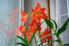 Aloe rosso della strega di hippeastrum su una finestra Fotografia Stock