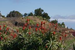 Aloe rosso vera Fotografia Stock