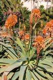 Aloe rosso vera Fotografie Stock Libere da Diritti