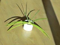 Aloe sano Vera Flower Fotografie Stock