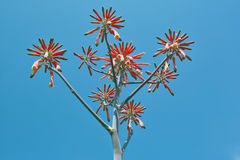 Aloe saponaria Royalty Free Stock Images