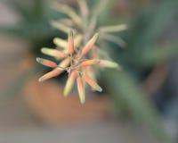 Aloe sbocciante del primo piano dell'aloe eterogeneo astratto dello sfondo naturale Fotografie Stock