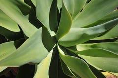 Aloe selvatico Fotografia Stock Libera da Diritti