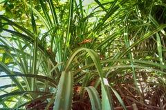 Aloe selvatico sulla costa di Mar Arabico Immagine Stock