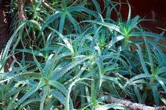 Aloe selvatico Vera Fotografie Stock Libere da Diritti