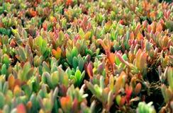 Aloe selvatico Vera Fotografia Stock