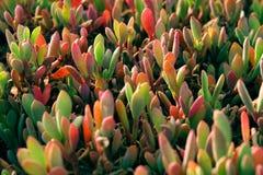 Aloe selvatico Vera Fotografia Stock Libera da Diritti