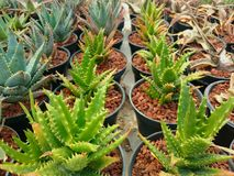 Aloe sp. Stock Image