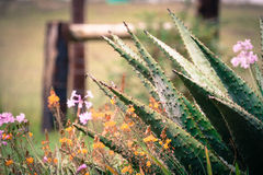 Aloe Spires. An Aloe plant among the flowers royalty free stock photo