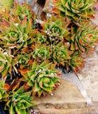 Aloe Squarrosa Royaltyfria Foton