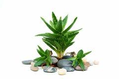 Aloe stabilito vera della stazione termale Immagini Stock Libere da Diritti