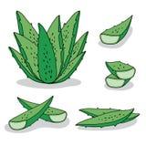 Aloe stabilito vera di vettore disegnata a mano su fondo bianco illustrazione di stock