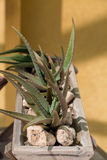 Aloe in Stone Planter stock images