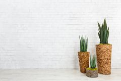 Aloe succulents and snake plant in diy pots. Over white brick wall, empty space royalty free stock photo
