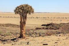 Aloe tree in the desert in Namibia Royalty Free Stock Photo