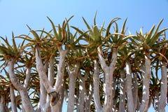 Aloe Tree Stock Photography