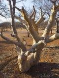 Aloe. Tree in Otjitotongwe, Namibia, Africa Royalty Free Stock Photo