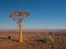 Aloe tree (quiver) in Fish River Canyon National Park Stock Photos