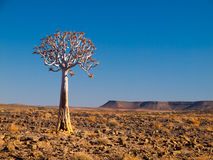 Aloe tree (quiver) in Fish River Canyon National Park Stock Photography
