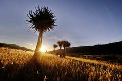 Aloe tree at sunset Stock Photo
