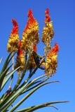Aloe in un giardino Immagine Stock