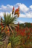Aloe in un giardino Immagini Stock