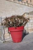 Aloe in un grande vaso rosso Fotografia Stock Libera da Diritti