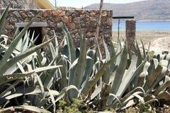Aloe, una pianta medicinale Fotografie Stock