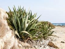 Aloe und Meer Stockfotos