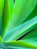 Aloe vago Vera Cactus del primo piano Fotografie Stock Libere da Diritti