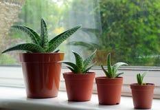 Aloe Variegata Fotografia Stock Libera da Diritti