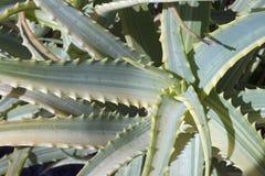 Aloe variegato dei candelabri Immagine Stock