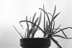 Aloe in vaso con Gray Background Immagine Stock