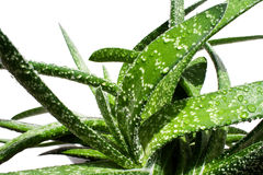 Aloe vera Royalty Free Stock Photos