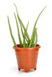Aloe vera Fotografie Stock