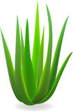 Aloe-vera. Royalty Free Stock Photo