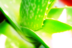 Aloe Vera. The popular Aloe Vera medicine Plant. Known in alternative healing Royalty Free Stock Images